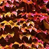 Virginia Creeper (Parthenocissus)