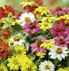 Zinnia Bedding Plants