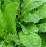 Herb Seeds - Sorrel