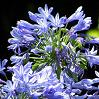 Perennial Plant Shop - Agapanthus - African lily