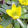 Winter Aconites (Eranthis) Bulbs
