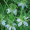 Herb Seeds - Cumin