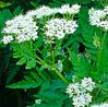 Herb Seeds - Cicely